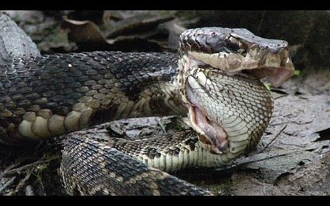 The description of the water moccasin aka moccasin snake