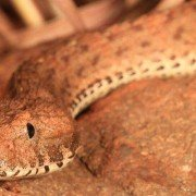 Scientists Discover New Species of Extremely Venomous Death Adder