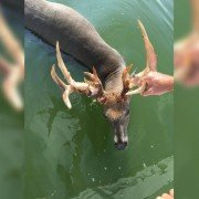 Minnesota Man Accused of Drowning Trophy Buck with Pontoon Boat