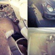 Deer lands in Frisco man's backseat after collision (VIDEO)