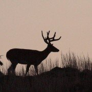 5 Things You Must Know about the Rut's Peak Breeding Phase