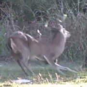 Watch These Deer Dodge Arrows All Day (VIDEO)