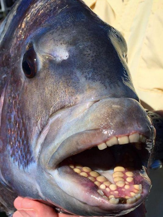 A 5lb. sheepshead on the end of your line will make you forget about trout for awhile