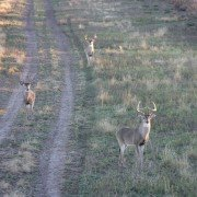 Whitetail Vacation: Affordable Deer Management Hunts in Texas