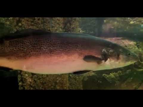 Giant trout and the elimination factor (Video)