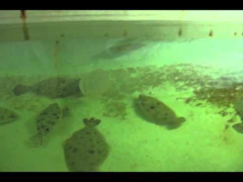 Hit and run flounder (video)