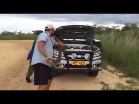 Man finds massive snake under car hood (video)