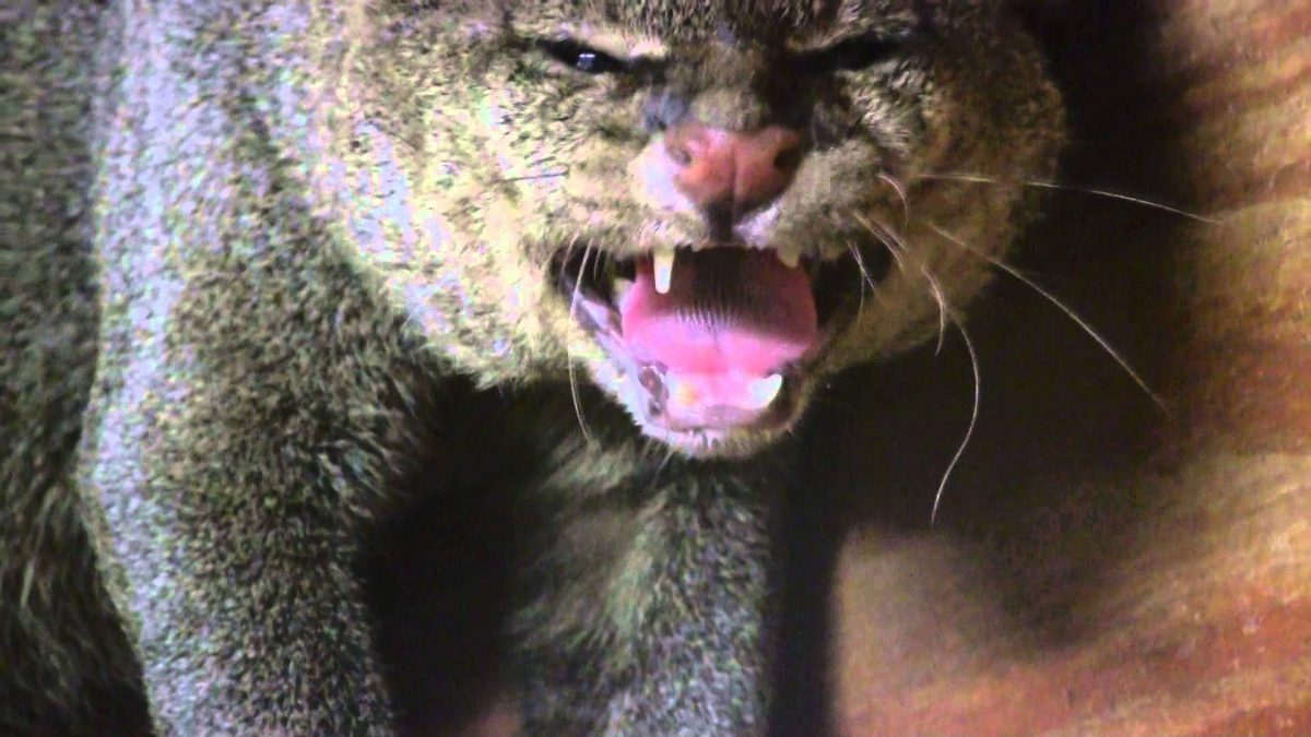 Up close look a the mysterious jaguarundi (video)