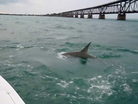 MONSTER Hammerhead eats tarpon (video)