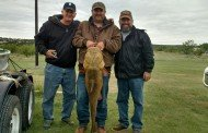45lb Yellow Cat - Texas Hotshots