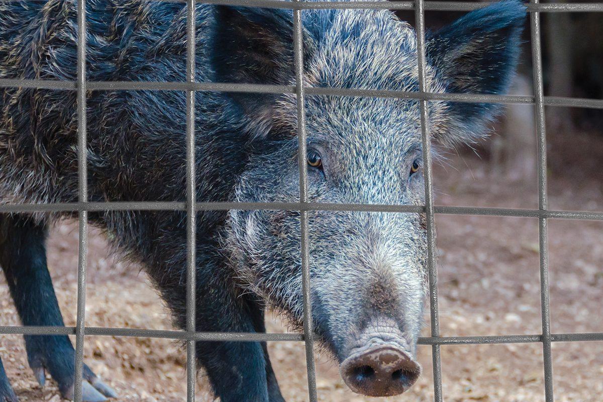 High Fence Hogs