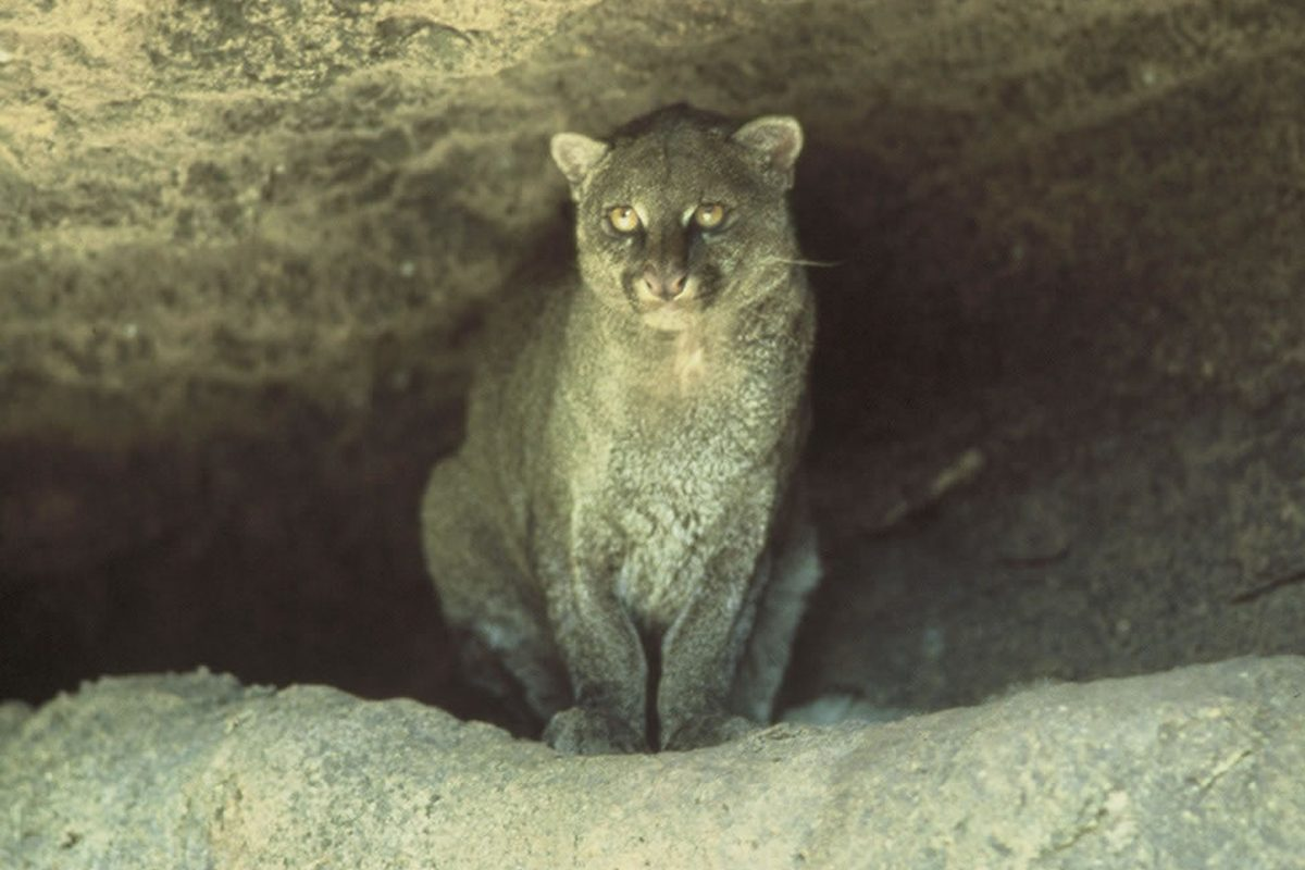 Jaguarundi in Texas