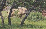 Encounter with a White Buffalo