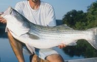 Striper Superiority