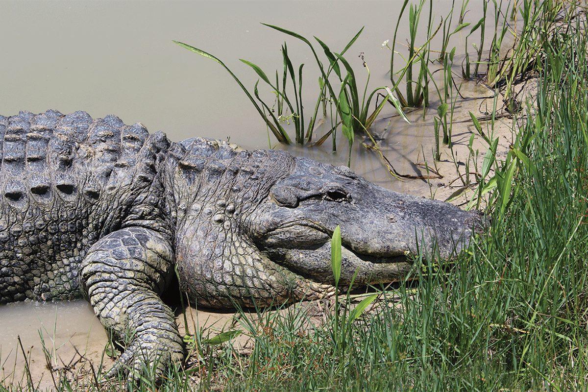 Gators in Texas