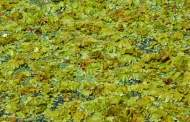 First it was Zebra Mussels; now it's Giant Salvinia