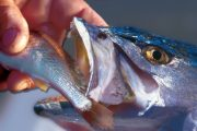 Live Baits for Trout