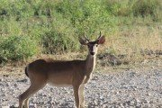 Mysterious Deer: Doe with antlers-help us identify other mystery deer