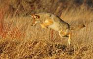 Coyote attacks on the rise-including in Texas! (Video)