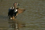 The Deal on Early Teal