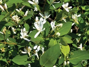 "Honeysuckle is one of their ""ice cream"" foods."