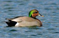 Duck Hybrids- True Trophies