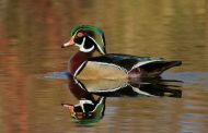 Wood Ducks: Aerial Acrobats