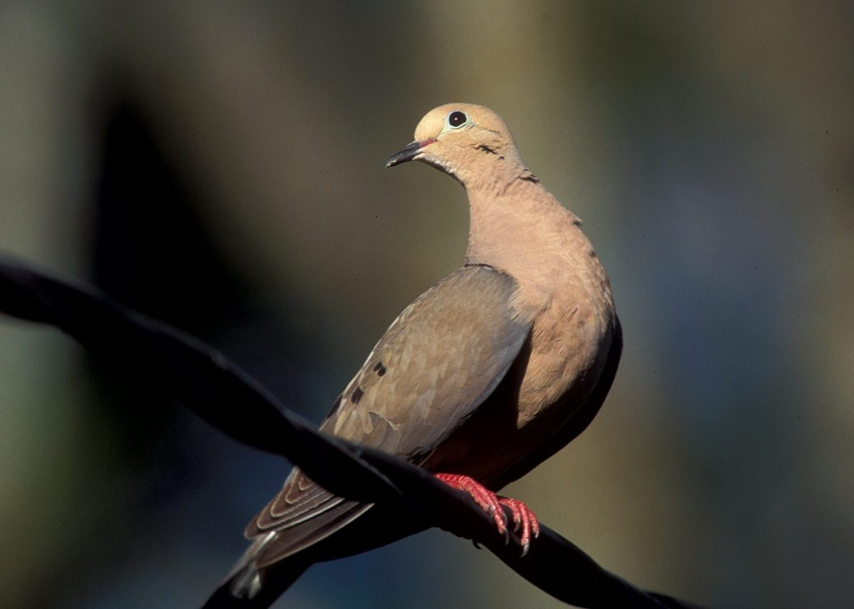 Texas Dove Hunting Prospects Bright: Longer Season, Lots of Birds