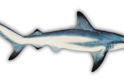 The Underrated Blacktip Shark