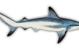 The Underrated Blacktip Shark