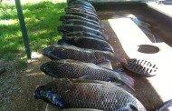 Mmm…Tilapia and Bowfishing Fun
